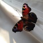 Бабочка в алтаре, 04 - 11 - 14
